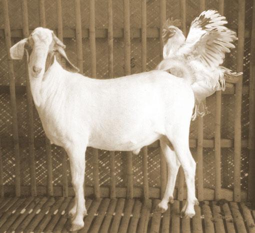chicken-goat-fuck.jpg