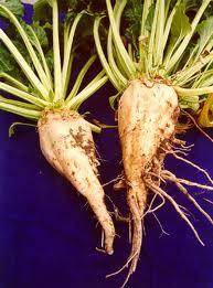 sugar beets.jpg