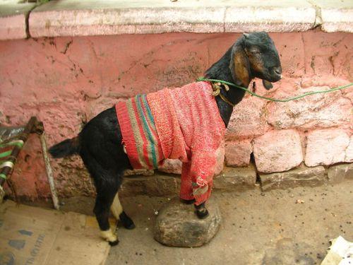 goat-wearing-sweater.jpg