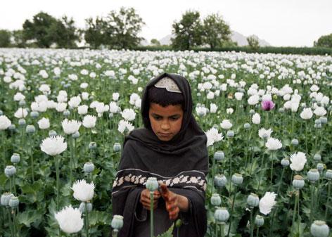 afghan poppy field.jpg