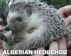 Algerian_Gedgehog.jpg