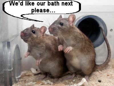 Rats bath.png