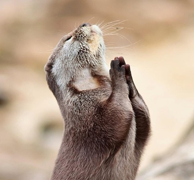praying otter.jpg