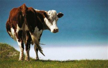 cow_2604108b.jpg