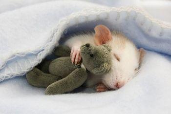 sleeping-rat 2.jpg