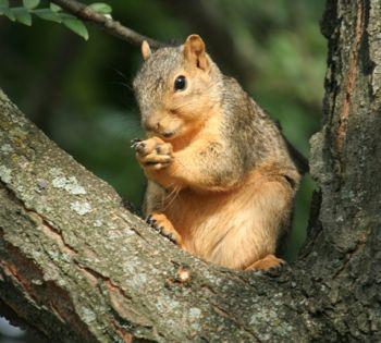 Squirrel on limb 2.jpg