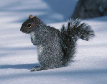 Squirrel in snow 2.jpg