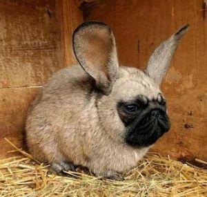 Rabbitpug 2.jpg