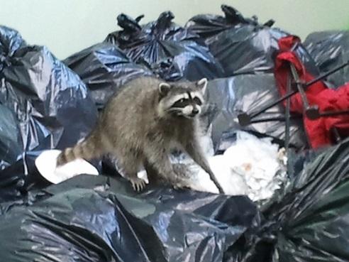 Raccoon-in-garbage.jpg