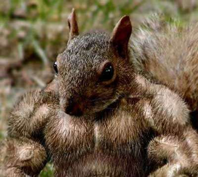 Muscle Squirrel.jpg