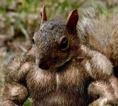Muscle Squirrel.jpg