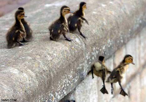 DucklingsSWNS_468x327.jpg