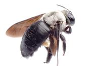 Carpenter-Bee1.jpg