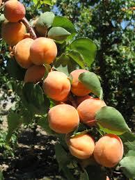 apricots.jpeg