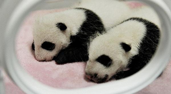 Panda_Babies.jpg