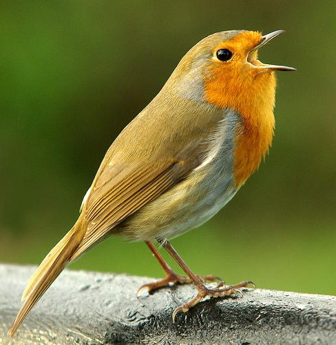 songbird.jpg