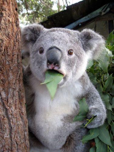 stunned koala.jpg