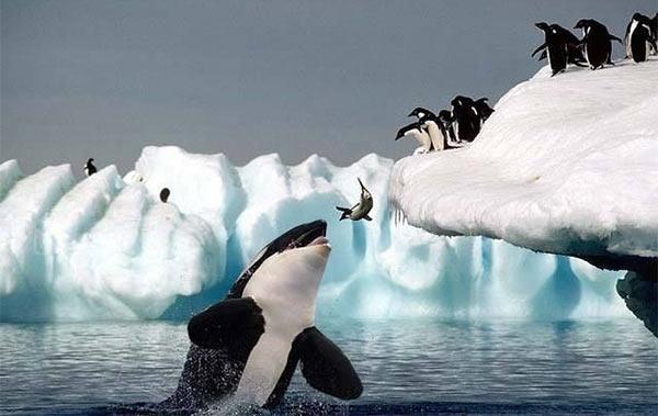 Orca_Penguins.jpg