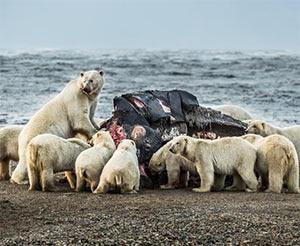 Polar_Bears_Eat_Whale.jpg