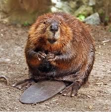 beaver.jpeg