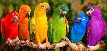 parrots_(365).png