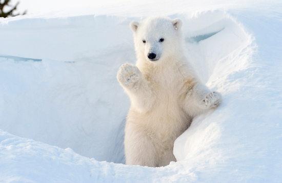 Polar Bear Cub1.jpg