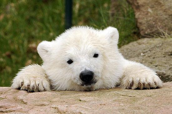 Polar Bear Cub3.jpg