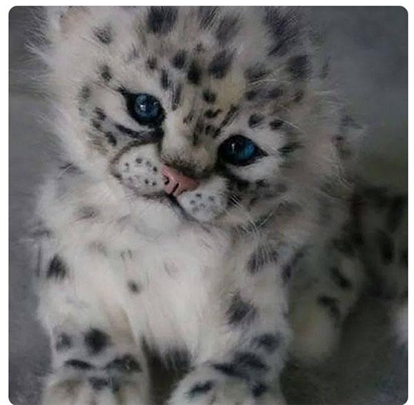 Snow Leopard Cub copy.jpg