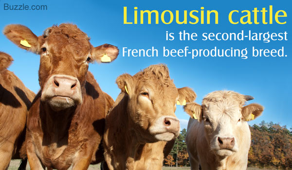 Limousin+Cattle.jpg
