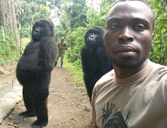 Congo_gorilla_ladies_(570).jpg