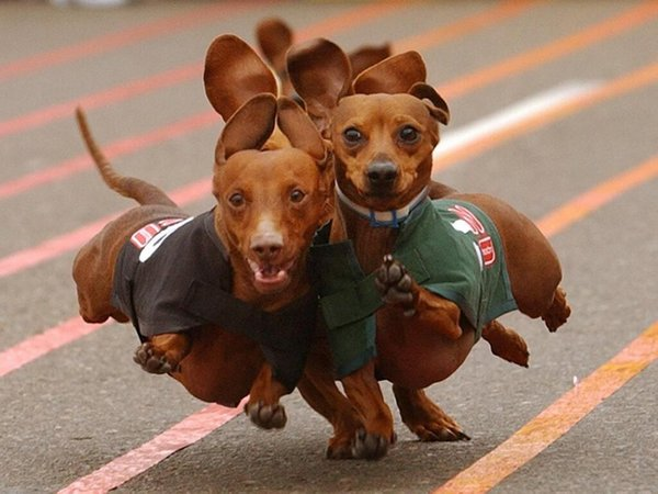 dachshunds.jpg
