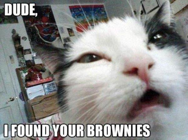 Kitteh found da brownies.jpg