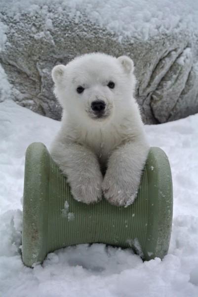 Polar Bear Cub2.jpg